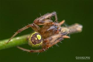 Orb weaver spider (Araneus sp.) - DSC_6115