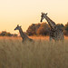 Giraffes at Sundown