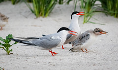 Common Tern Family (tresed47) Tags: 2018 201807jul 20180704nynickersonbirds birds bryanscamera canon70d commontern content folder july longisland ny nickersonbeach petersphotos places season summer takenby tern us