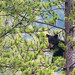 Hunting for a Snack (peaflockster) Tags: canada jaspernationalpark blackbears nature