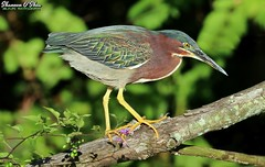 I'm going out on a limb here (Shannon Rose O'Shea) Tags: shannonroseoshea shannonosheawildlifephotography shannonoshea shannon greenheron heron bird beak green yelloweye yellowfeet yellowlegs colorful skinnylegs birdyfeet longtoes claws leaves bokeh branch branches limb nature wildlife waterfowl wildwoodlake harrisburg pennsylvania dauphincounty art photo photography photograph wild wildlifephotography wildlifephotographer wildlifephotograph canon canoneos80d canon80d eos80d 80d canon100400mm14556lisiiusm camera closeup close butoridesvirescens fauna flora flickr wwwflickrcomphotosshannonroseoshea femalephotographer womanphotographer girlphotographer shootlikeagirl shootwithacamera throughherlens feathers wings