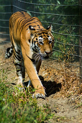 Tiger (Andy barclay) Tags: wildlife nikon d7100 woodside nature animals tiger julia eating meal meat feeding cat big paws orange
