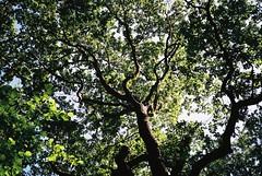 Heritage oak tree, Leigh Woods (knautia) Tags: leighwoods nationaltrust bristol england uk july 2018 film ishootfilm fuji superia 400iso olympus xa2 olympusxa2 nxa2roll43 woods oaktree oak heritagetree