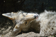 Akron Zoo 06-06-2014 - Coyote 24 (David441491) Tags: coyote canine akronzoo