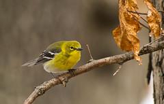 Pine Warbler (Kremlken) Tags: pymatuningstatepark warblers springmigration birds birding birdwatching nikon500 spring migration migrating