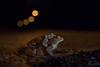 Mating streetlight toads (JKonradsen Photography) Tags: toad toads bufo spring amphibians mating stjørdal norway nature naturephotography