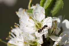Ant on blossom (Anieteke) Tags: ant mier blossom spring insect heemtuin vlaardingen macrolife macro