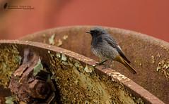 Hausrotschwanz männchen ( Phoenicurus ochruros ) (normen.nikon) Tags: bird vogel d810 nikon berlebach manfrotto wildlife wild