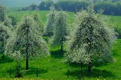 Belgium, Borgloon/Grootloon. (ClaDae) Tags: belgium belgique borgloon bloesems blossems flower nature fruit