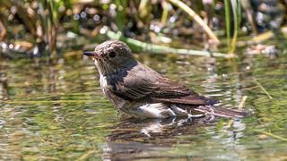 Spotted Flycatcher (Explore)