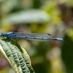Common Blue Damselfly thumbnail