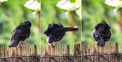 0603_rigosorozat-1 (adam.leaf) Tags: leafling canon 6d sigma 100400 common blackbird rigó