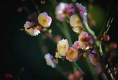 Prunus Mume 梅花 (eggwah123) Tags: prunusmume prunus flower flowerbuds flowering floweringapricot floweringcherry closeup oldlens oldlenses adaptedlens adapted plumflower plum bokeh depthoffield blooms blooming sony sonya7ii sonyemount sonnar variosonnar80200mmf4 variosonnar contax zeisssonnar zeiss mirrorless lightroom5 legacylens 梅花 梅