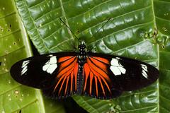 Laparus doris doris (bayucca) Tags: schmetterling papillon südamerika southamerica ecuador farfalla nymphalidae heliconiinae passionsblumenfalter laparusdorisdoris laparusdoris copalinga copalingalodge provinciadezamorachinchipe mimicry mimikry