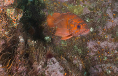P7230216.jpg (alwayslaurenj) Tags: montereycarmel pointlobos reefcheck vcr vermillianrockfish