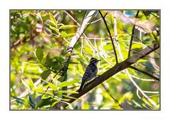 Bashful in the Shadows (JohnKuriyan) Tags: nuttallswoodpecker vollmerpeaktrail tildenpark berkeley california