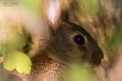 Who's hiding in the bushes (Photography - KG's) Tags: rabbit animals wildlife nature brandonmarsh reserve