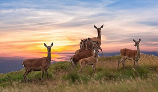 Red Deer Hinds with Calves