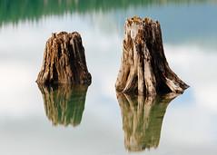 From Seedlings To Stumps (John Westrock) Tags: treestumps longexposure reflection nature calm rattlesnakelake washington pacificnorthwest canoneos5dmarkiii bwnd1000x canon135mmf2lusm
