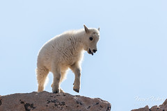 Mountain Goat kid bounds by - Sequence - 1 of 17