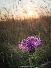 Saltdean Sunset (amipal) Tags: 175mm countryside england flowers gb greatbritain manuallens nature saltdean summer sunset sussex uk unitedkingdom voigtlander