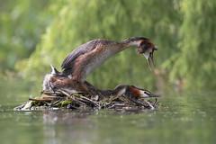 Svassi maggiore (Ricky_71) Tags: great crested grebe podiceps cristatus lake summer wild nikon