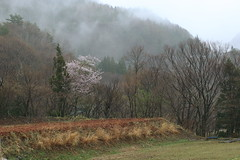 Early Spring Morning in Fog (seiji2012) Tags: 長野県 高山村 霧 桜 サクラ fog cherryblossom nagano morning