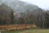 Early Spring Morning in Fog (seiji2012) Tags: 長野県 高山村 霧 桜 サクラ fog cherryblossom nagano morning