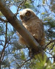 DSC_1314_edit (Hanzy2012) Tags: nikon d500 afsnikkor500mmf4difedii toronto ontario canada wildlife bird teleconverter tc14eii greathornedowl bubovirginianus owl