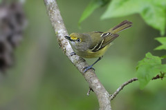 White-eyed Vireo (Greg Lavaty Photography) Tags: whiteeyedvireo vireogriseus texas may brazosbend statepark ftbendcounty outdoors bird nature wildlife