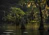 Golden Velvet (keith_shuley) Tags: moss mossy cypress cypressgrove dawn gold golden caddolake easttexas