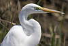 Great Egret at Bombay Hook (Scott Alan McClurg) Tags: aalba ardea ardeidae bombayhook flickr animal bird greategret land landing life nature naturephotography neighborhood spring white wild wildlife