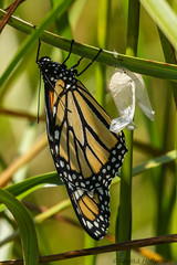 Monarch (kjheff122) Tags: monarch howardcounty westernregionalpark maryland danausplexippus woodbinequad