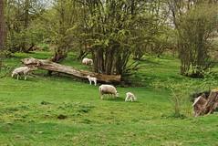 Carrog 220418 - DSC_0346 (Leslie Platt) Tags: exposureadjusted straightened cropped denbighshire carrog lamb