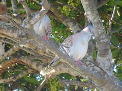 Ocyphaps lophotes 13 (barryaceae) Tags: vic shoesmith reserve manning point nsw australia ausbird ausbirds crested pigeon ocyphaps lophotes