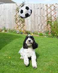 Few more of my mate playing in the garden (edwinbarson) Tags: cockapoo dog dogs photography pets pet playing ball
