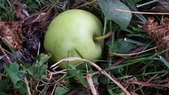 Green Apple (Adventurer Dustin Holmes) Tags: 2018 lacledecounty missouri ozarks lebanonmo lebanonmissouri outdoor nature plant plants food apple greenapple fruit ground