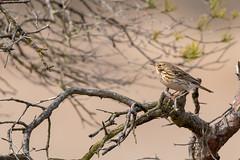 Meadow Pipit resting ona branch (ejwwest) Tags: morden dorset pooleharbour wildlife wareham arne birds anthuspratensis meadowpipit purbeckdistrict england unitedkingdom gb