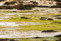 Whimbrel Feeding (ejwwest) Tags: portsmorth hampshire asioflammeus owl farlington solent portsmouth england unitedkingdom gb