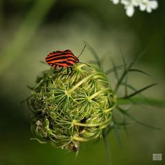 525201807aMILANO-31 (GIALLO1963) Tags: milan bug lombardy italy europe zeiss ze milvus canoneos6d macro closeup bugs milano parconordmilano milvus2100m