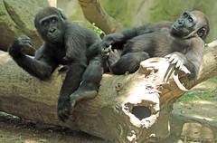 Western lowlandgorilla Barcelona JN6A3694 (j.a.kok) Tags: gorilla westelijkelaaglandgorilla westernlowlandgorilla lowlandgorilla laaglandgorilla animal africa afrika aap ape barcelona mammal monkey mensaap primate primaat zoogdier dier