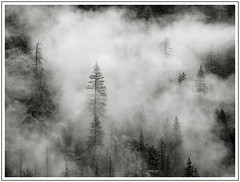 Tales of the Woods (adam_pierz) Tags: mist yosemite trees blackandwhite monochrome olympusomd micro43 microfourthirds