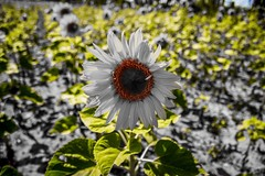 Die schönste Blume des Sommers (marcel-mroncz@t-online.de) Tags: blume bild follower photographer photography photo sonnenblume sommer day newpic fotografieren foto naturephotography naturerlebnis nature natur
