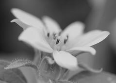 Focus (Helen Orozco) Tags: monochromebokehthursday hmbt pollen bokeh