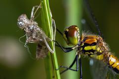 Last Year's Clothes - _TNY_6000 (Calle Söderberg) Tags: macro canon canon5dmkii canoneos5dmarkii 5d2 canonef100mmf28usmmacro raynox dcr250 flash meike mk300 glassdiffusor insect dragonfly trollslända odonata segeltrollslända libellulidae ängstrollslända sympetrum danae darter meadowhawk blackdarter blackmeadowhawk svartängstrollslända profile exuvia exuviae larvhud orange yellow grass hair hairy drying diptera