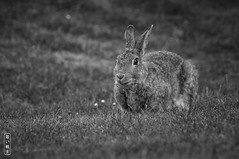 Bunnyyyyy #2183 (svenpetersen1965) Tags: oryctolaguscuniculus rabbit bunny lawn lovely wenningstedtbraderupsylt schleswigholstein deutschland de