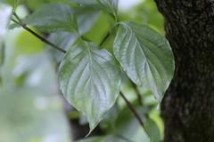 Flowering Dogwood (corey.raimond) Tags: cornus cornaceae cornusflorida plant tree smalltree largeshrub flora tennessee bark leaf dogwood appalachian appalachiantrail