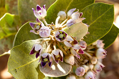 2018-4298.jpg (storvandre) Tags: garden blooming floral flower botanical shrub flora petal delicate blossom bud bloom morocco sahara desert