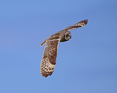 Short eared owl (Terry Angus) Tags: seo short eared owl skomer wales