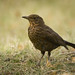 Junior blackbird